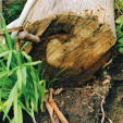 An inground pole showing brown rot.